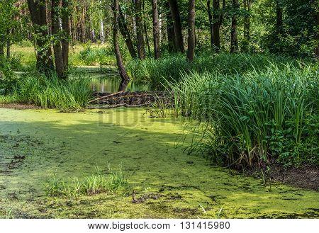 small pond next to dam built by beavers on Mazovia region Poland