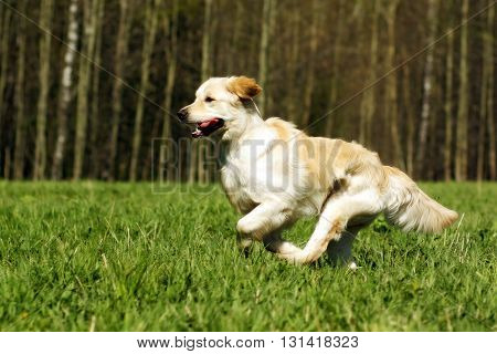 Young happy dog Golden Retriever with joy quickly runs across the grass