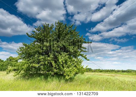 Fieldtree and blue sky and clouds .