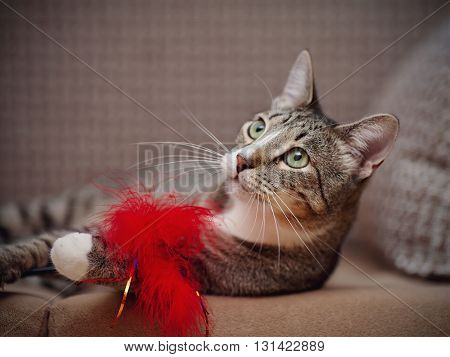 Portrait of a striped domestic cat on a sofa plays with a toy.