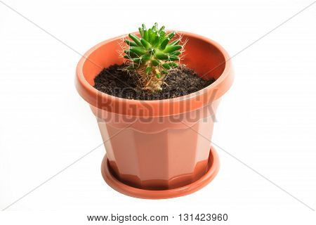 Cactus in a brown pot on a white background