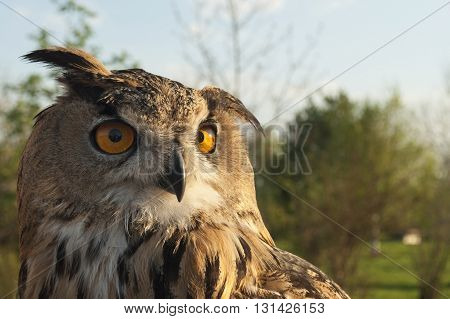 Great horned eagle owl thoughtfully looking through you