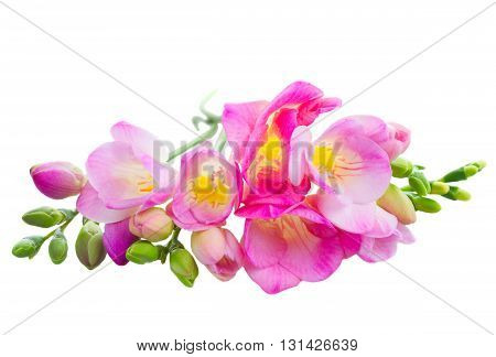 Fresh pink freesia flowers with buds isolated on white background