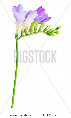 Fresh blue freesia flowers with buds twig isolated on white background