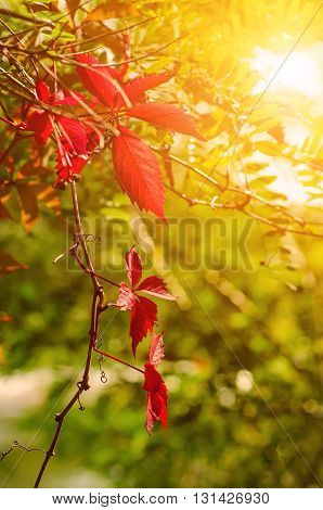 Wild grape leaves, natural sunny seaasonal autumn background with copy space