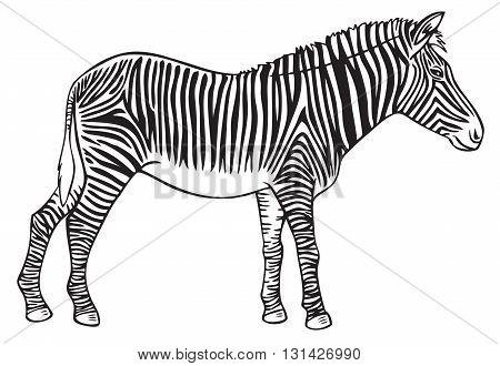 black hand drawing on white background wild animal Zebra