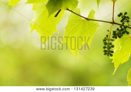 Sunny young green vine spring  leaves, natural eco background