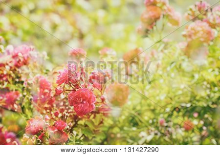 Garden with fresh red roses, floral natural hipster vintage instagram  background with multiexposure