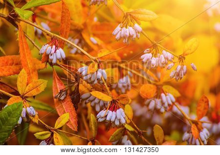 Barberry blue fruits in the colorful autumn park, natural seasonal sunny fall background
