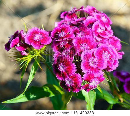 A colorful carnation flowers on blurred background