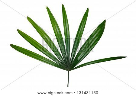 green palm leaf vein isolated on white background