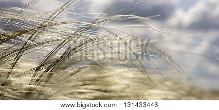 Nature website banner of beautiful grass in the wind