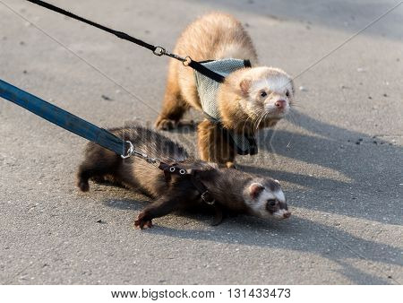 Two ferret for a walk with a collar and leash