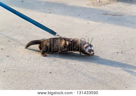 Dark polecat with a collar on a leash for a walk