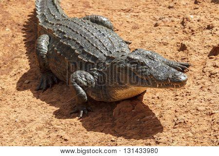 Aligator waiting in the hot African sun.