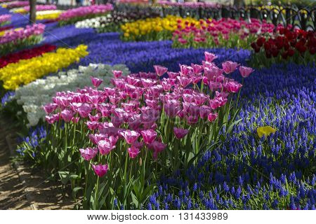 Beautiful tulips blossoms, fresh spring flowers, flowerbed