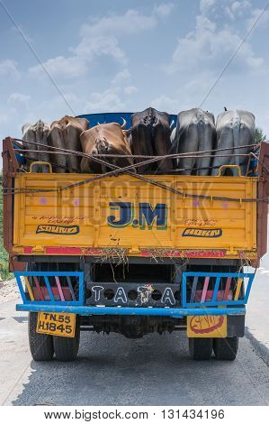 Chettinad India - October 16 2013: Yellow and blue Tata truck seen from the back. Holds living cattle also seen from the back. Near village of Namunasamudran.