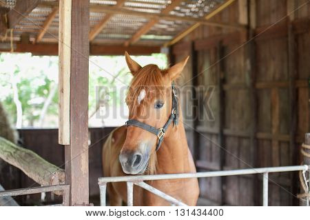 A brown young horse are standing in the shed farm