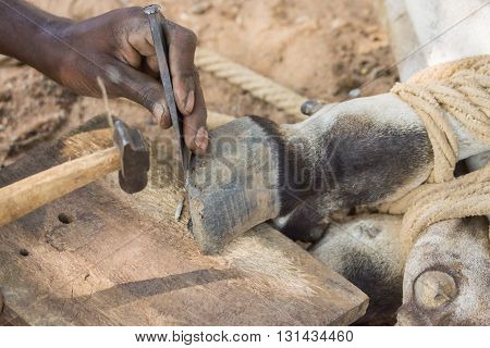 Chettinad India - October 16 2013: Blacksmith near Namunasamudran cleans buffalo foot. Action photo focus on hands blacksmith and feet of animal.