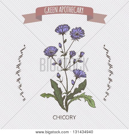 Color Cichorium intybus aka common chicory sketch. Green apothecary series. Great for traditional medicine, cooking or gardening.