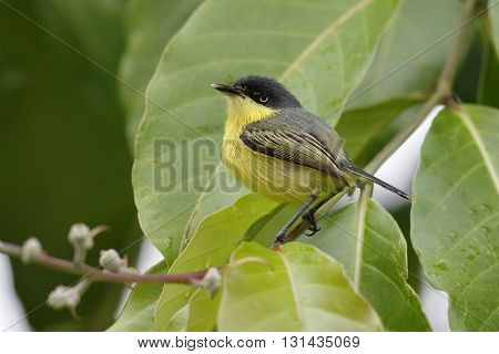 Common Tody-flycatcher - Panama