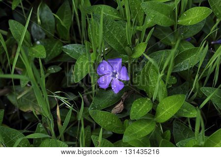 purple periwinkle flower and green shoots after the rain