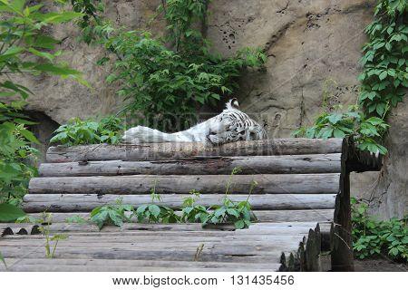 photo wild animal white tiger sleeping on hardwood logs in summer