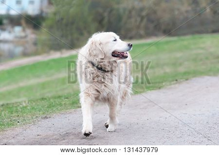 The Cheerful Dog Joyfully Runs On A Grass