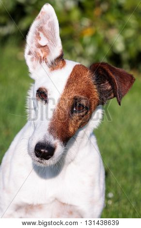 Smooth Fox Terrier Dog Portrait in Close-up
