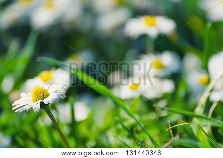 Spring marguerite daisy  flower in green grass, natural background