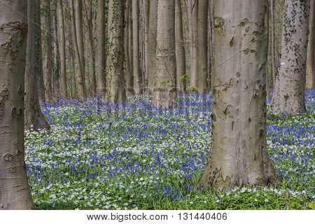 Hallerbos in spring in Belgium with beech trees Wood Anemone and purple bluebells.