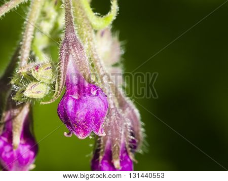 Flowers on Common Comfrey Symphytum officinale with bokeh background macro selective focus shallow DOF
