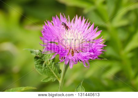 Aster violet flower growing in the garden, natural outdoor floral seasonal background