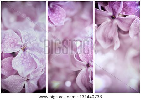 Macro image of spring soft violet  lilac flowers with water drops, natural seasonal floral background. Can be used as holiday card with copy space.