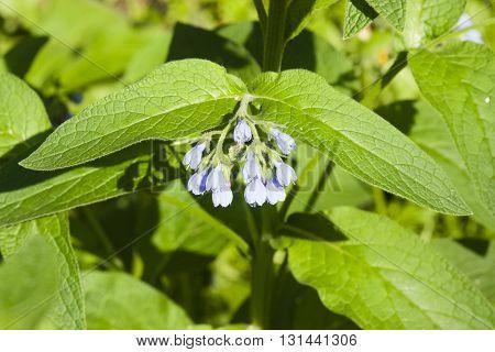 Blossom Comfrey Caucasian Symphytum caucasicum flowers and leaves close-up selective focus shallow DOF