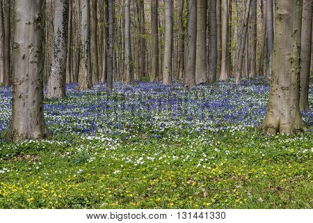 Hallerbos in spring in Belgium with beech trees and purple bluebells.