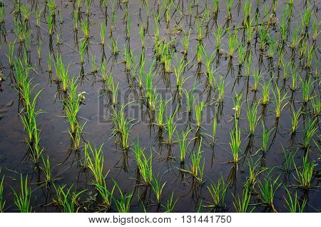 Rice Growing In The Rice Field