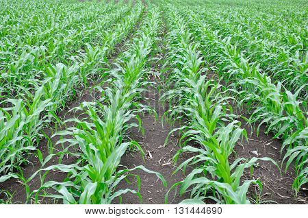 field of young maize with curved row at the end