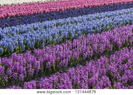Rows of purple and blue hyacinths in een agricultural field in Noord-Holland in the Netherlands.