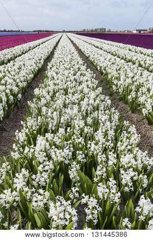 Rows of white hyacinths in een agricultural field in Noord-Holland in the Netherlands.