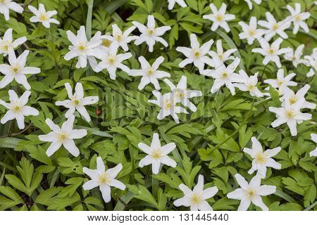 Several white blooming wood anemone with yellow stamen.