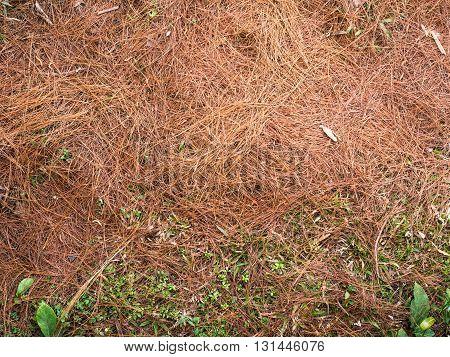 Dry pine needles on the ground