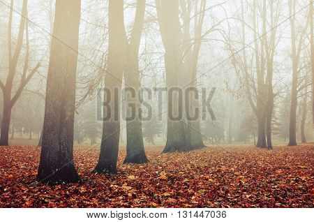 Foggy autumn landscape - autumn bare trees and fallen leaves in the park in foggy weather