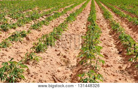 Vegetative stage of sassava field planted in furrow