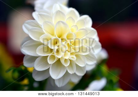 white dahlia flower growing on a bush after rainfall