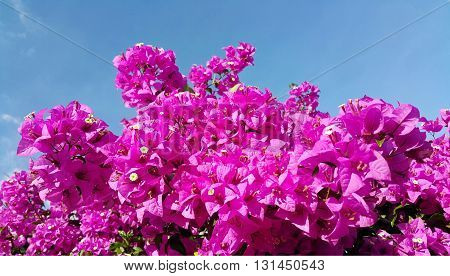 Pink bougainvillea flowers against blue sky background