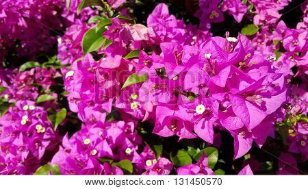 Pink bougainvillea flowers with green leaves in garden