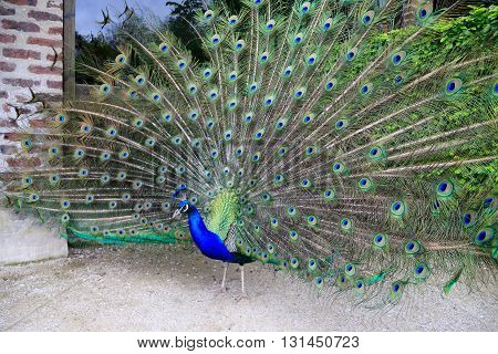 A BEAUTIFUL PEACOCK  IN THE GARDEN OF ABBEY OF VALLOIRE , FRANCE