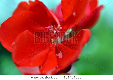 closeup of geranium flowers and blossoms after rainfall