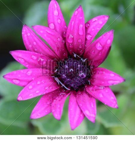 A PURPLE FLOWER AFTER RAIN , RAINDROPS